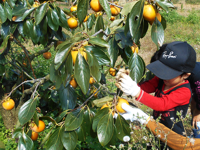 柿の収穫体験